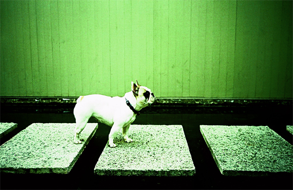 greyboy, dog