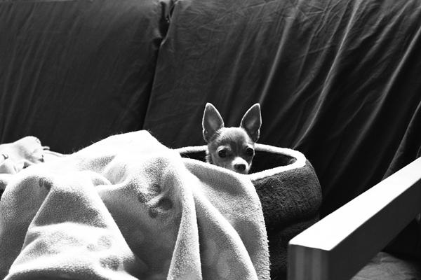 blu, chihuahua, dog, couch